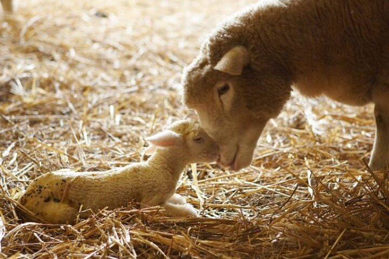 Tablehurst Farm invites you to celebrate the lambing season!